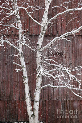 Photograph - Snow Covered Birch Tree And A Red Barn. by Don Landwehrle