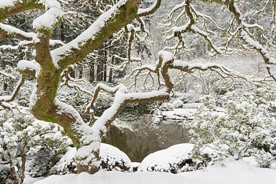 Snow-covered Japanese Maple, Portland Art Print by William Sutton