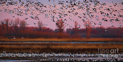 Photograph - Snow Geese by Elizabeth Winter
