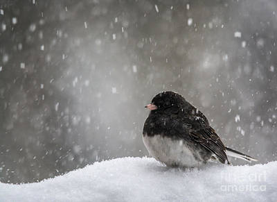 Photograph - Snow Junco by Cheryl Baxter