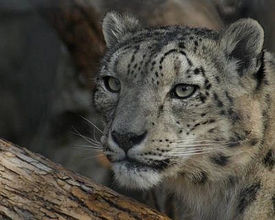 Photograph - Snow Leopard 14 by Ernie Echols