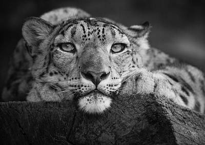 Zoo Animal Wall Art - Photograph - Snow Leopard by David Williams
