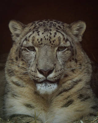 Photograph - Snow Leopard Portrait by Ernie Echols