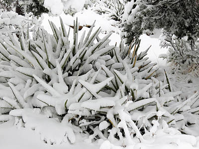 Photograph - Snow On Desert Plant by Laurel Powell