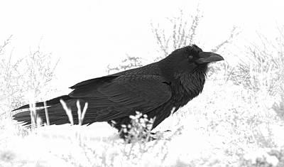 Snow Raven Art Print