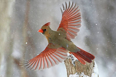 Cardinal Photograph - Snow Storm by Mircea Costina