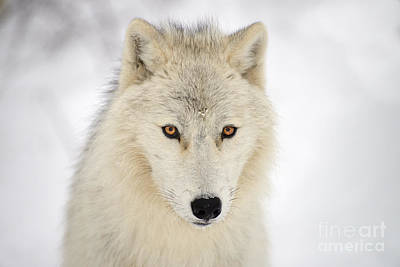 Photograph - Snow Wolf by Joshua McCullough
