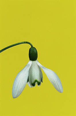 Snowdrops Wall Art - Photograph - Snowdrop by Leslie J Borg/science Photo Library