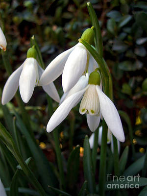 Photograph - Snowdrops by Nina Ficur Feenan