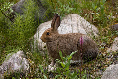 Art Print featuring the photograph Snowshoe Hare by Chris Scroggins
