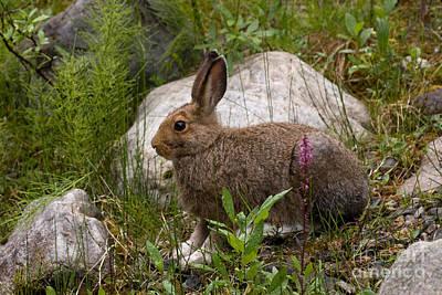 Photograph - Snowshoe Hare by Chris Scroggins