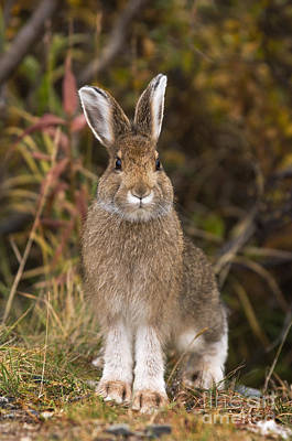 Snowshoe Hare Photograph - Snowshoe Hare by Ron Sanford