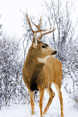 Steven Krull Royalty-Free and Rights-Managed Images - Snowstorm Stag by Steven Krull