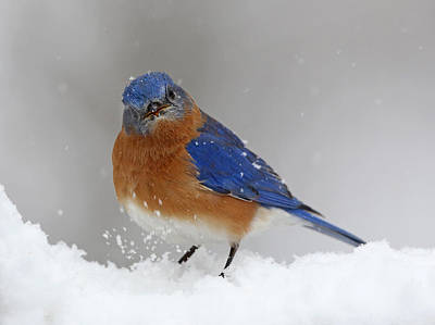 Best Stock Photograph - Snowy Bluebird by Jack Nevitt