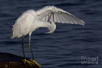 Photograph - Snowy Egret Photo by Meg Rousher