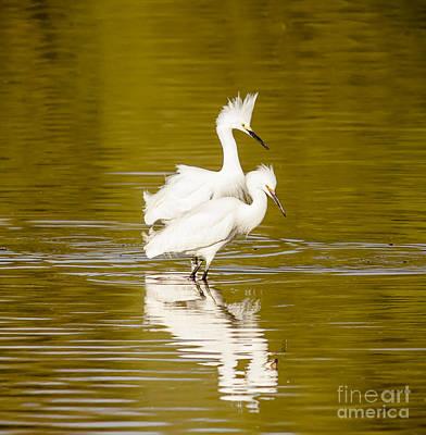 Snowy Egrets Art Print