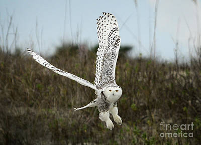 Painting - Snowy Owl 42 by Cindy McIntyre