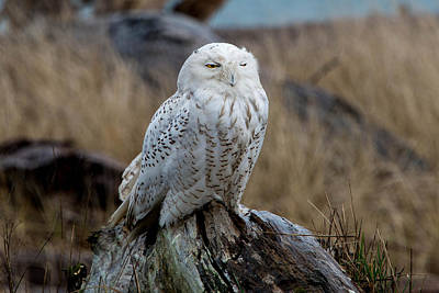 Photograph - Snowy Owl by David Yack