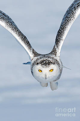 Quebec Fauna Photograph - Snowy Owl Incoming by Scott Linstead
