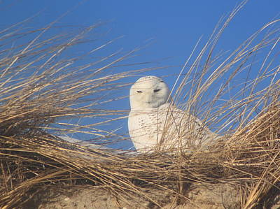 Photograph - Snowy Owl On Cape Cod Beach Dune by John Burk