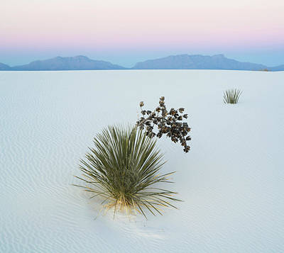 Arid Life Photograph - Soaptree Yucca Yucca Elata In Dawn by Panoramic Images