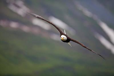 Eagle Photograph - Soaring Bald Eagle by Tim Grams