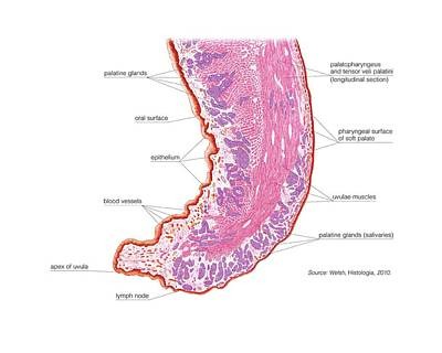 Palatine Photograph - Soft Palate And Uvula by Asklepios Medical Atlas