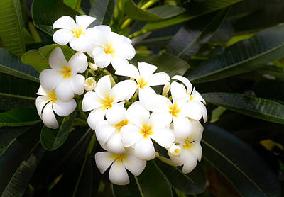 Photograph - Soft Plumeria by Roger Mullenhour