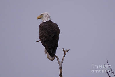 Photograph - Solo  Bald Eagle by Mary Mikawoz