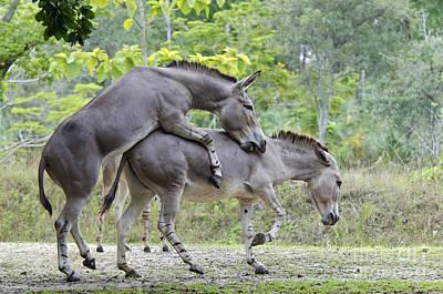 African Sex Photograph - Somali Wild Ass by Mark Newman