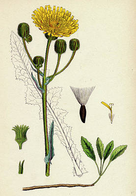 Thistle Drawing - Sonchus Arvensis Corn Sow-thistle by English School