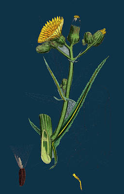 Thistle Drawing - Sonchus Palustris Marsh Sow-thistle by English School