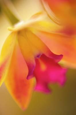 Sophrolaeliocattleya Orchid Art Print