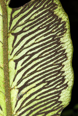 Sori On The Underside Of A Fern Leaf Art Print by Dr Morley Read