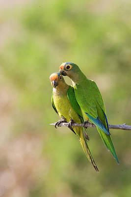Parakeet Photograph - South America, Brazil, Pantanal by Jaynes Gallery