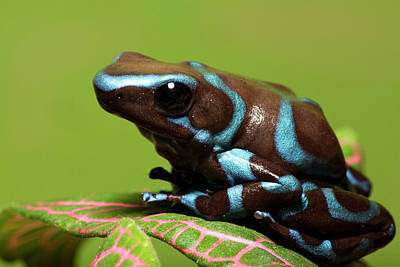 Dart Frogs Photograph - South America, Panama by Jaynes Gallery