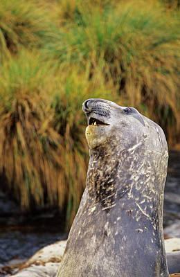 Southern Elephant Seal Bulls In Mock Art Print