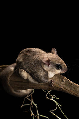 Squirrel Photograph - Southern Flying Squirrel, Glaucomys by Maresa Pryor