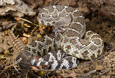 Southern Pacific Rattlesnake. Art Print by John Bell