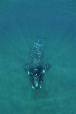 Valdes Photograph - Southern Right Whale Peninsula Valdez by Flip Nicklin