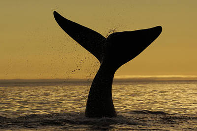 Valdes Photograph - Southern Right Whale Tail Slap Valdes by Hiroya  Minakuchi
