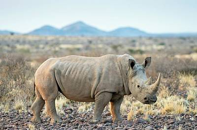 Southern Africa Photograph - Southern White Rhinoceros by Tony Camacho