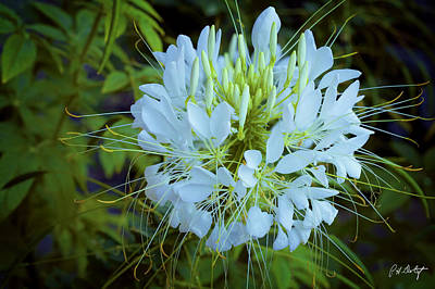 Cleome Photograph - Sparkler White Cleome by Phill Doherty