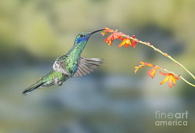 Photograph - Sparkling Violet-ear Hummingbird by Dan Suzio