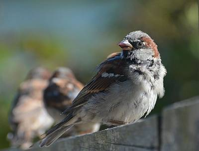 Photograph - Sparrow Song 13 by Fraida Gutovich