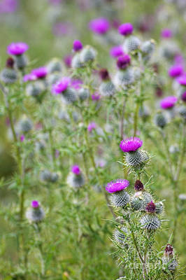Spear Thistle Cirsium Vulgare Art Print by Duncan Shaw