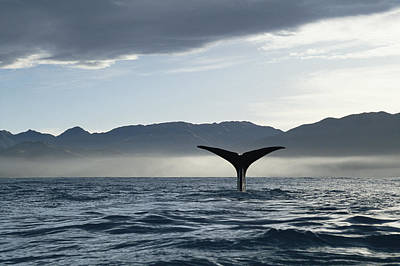 Sperm Whale Physeter Macrocephalus Art Print by Flip Nicklin