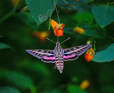 Sports Royalty-Free and Rights-Managed Images - Sphinx moth  by David Tennis