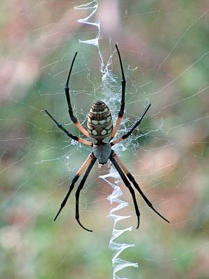 Photograph - Spider - Black And Yellow Argiope 08 by Pamela Critchlow