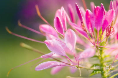 Spider Flower Cleome Hassleriana Print by Maria Mosolova